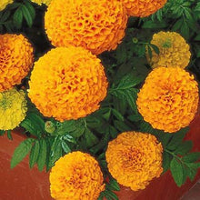Load image into Gallery viewer, Marigold Inca