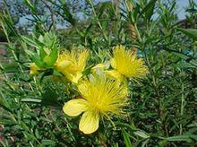 Load image into Gallery viewer, St. John's Wort Ames Kalm