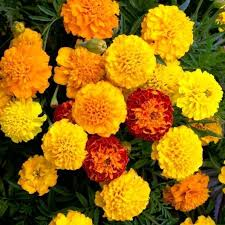 Safari Mix Marigold