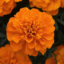 Marigold Bonanza Orange Deep