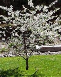 Mesabi Cherry Tree