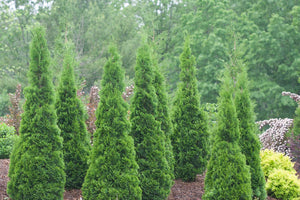 North Pole Arborvitae