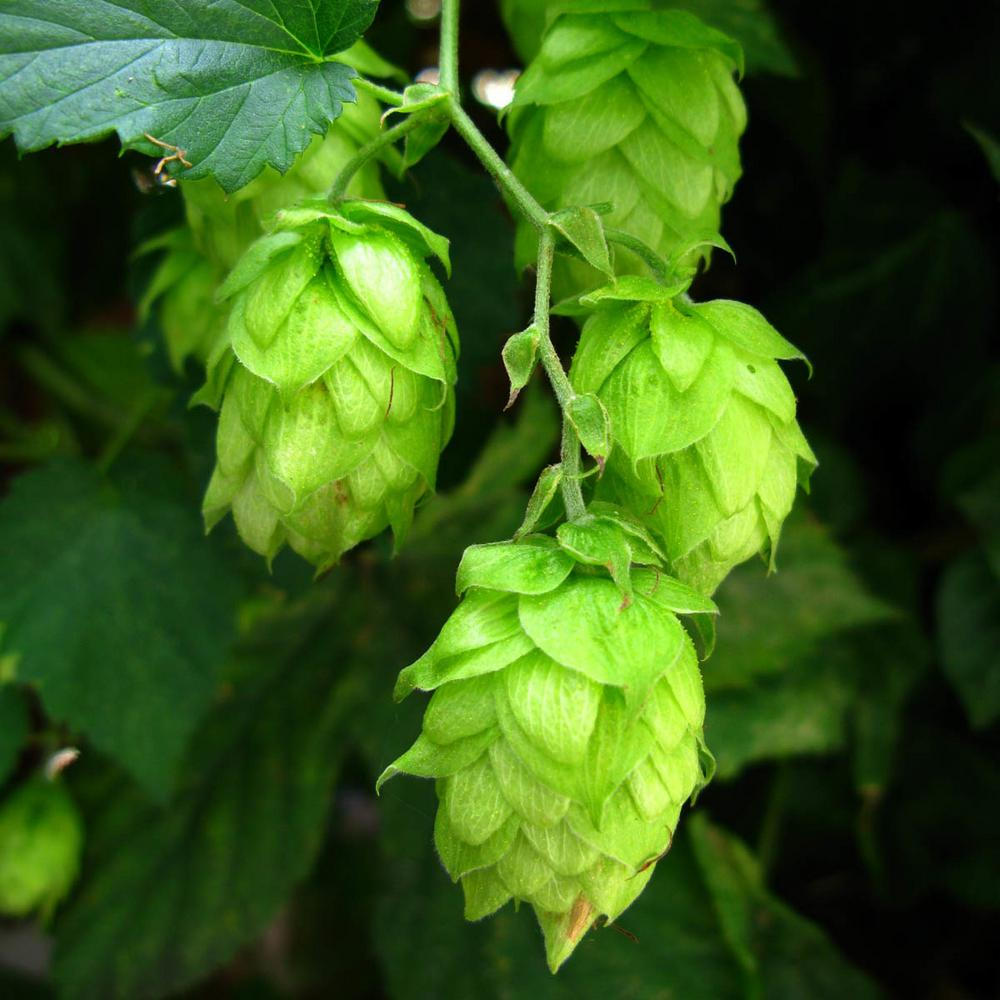 Nugget Ornamental Hop