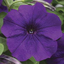 Load image into Gallery viewer, Petunia Plush Basket