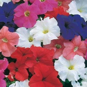 Petunia Dream Mix