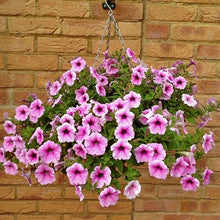 Load image into Gallery viewer, Petunia Shockwave Basket