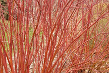 Load image into Gallery viewer, Red Twig Dogwood