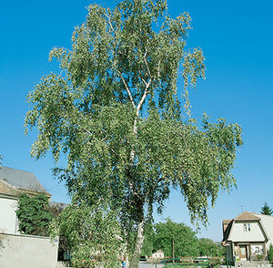 Weeping Cut Leaf Birch