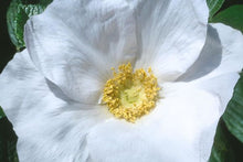 Load image into Gallery viewer, Rugosa Rose