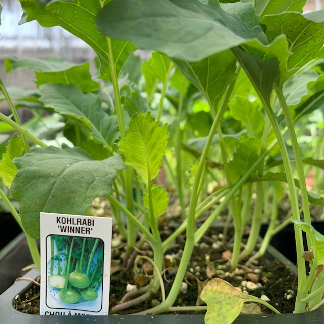 Kohlrabi 'Winner' 606 pack