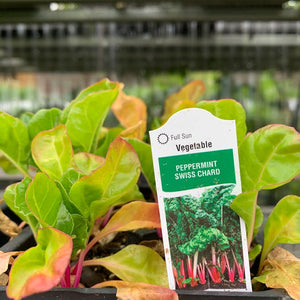 Swiss Chard 'Peppermint' 6 pack