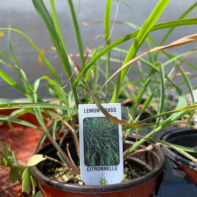 Lemon Grass 4""
