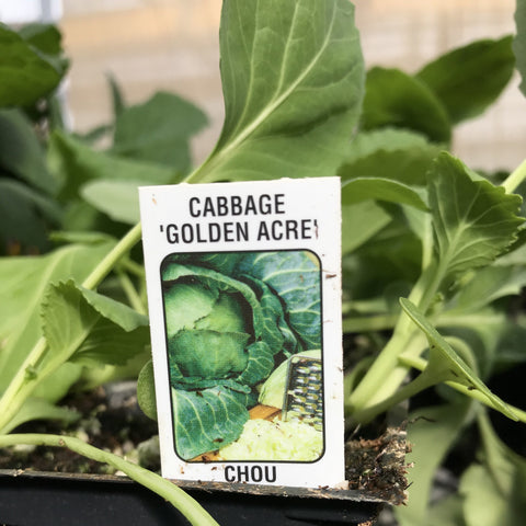 Cabbage 'Golden Acre' 606 pack