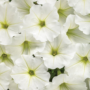 PW Supertunia Vista Snowdrift