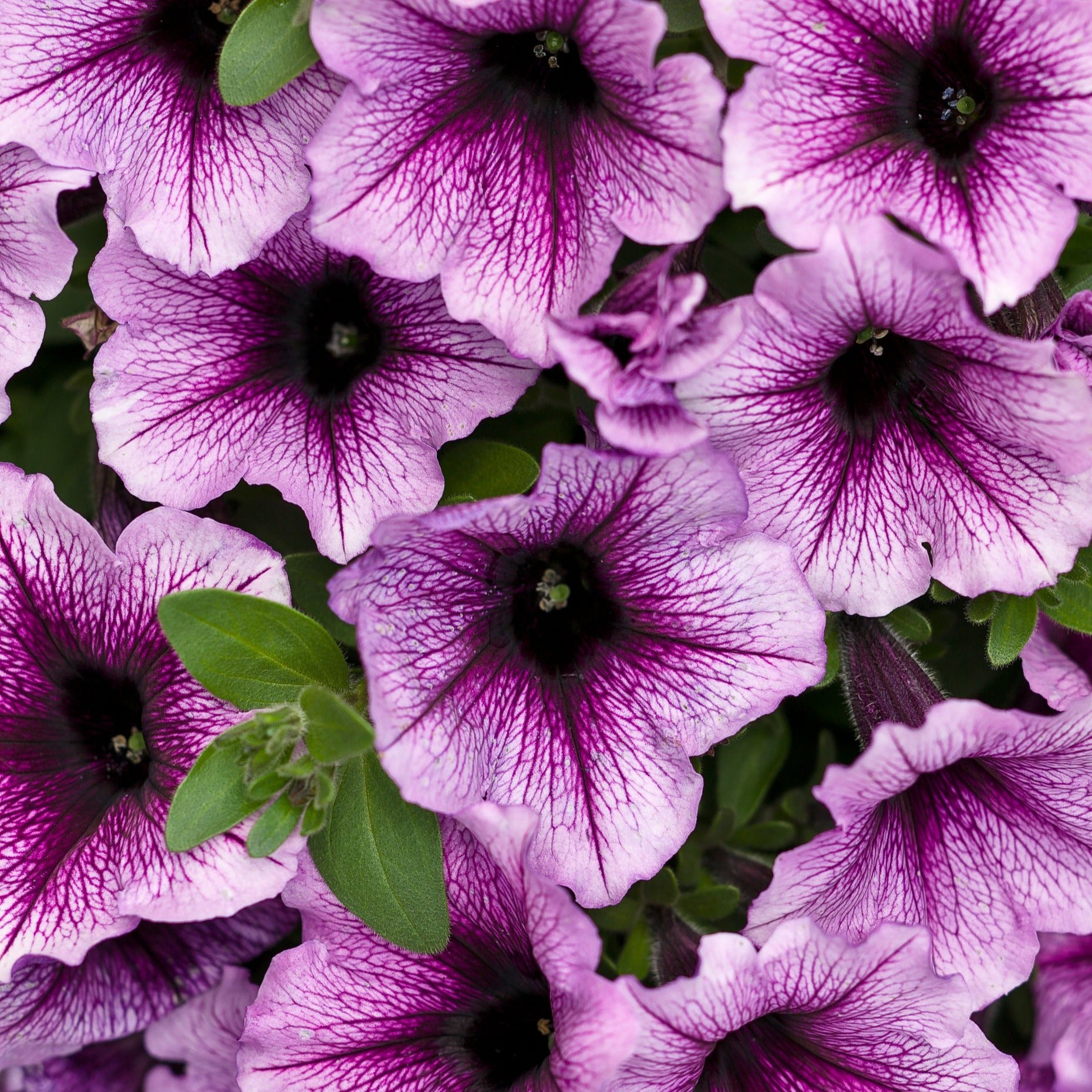 PW Supertunia Bordeaux