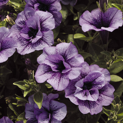 PW Supertunia Priscilla