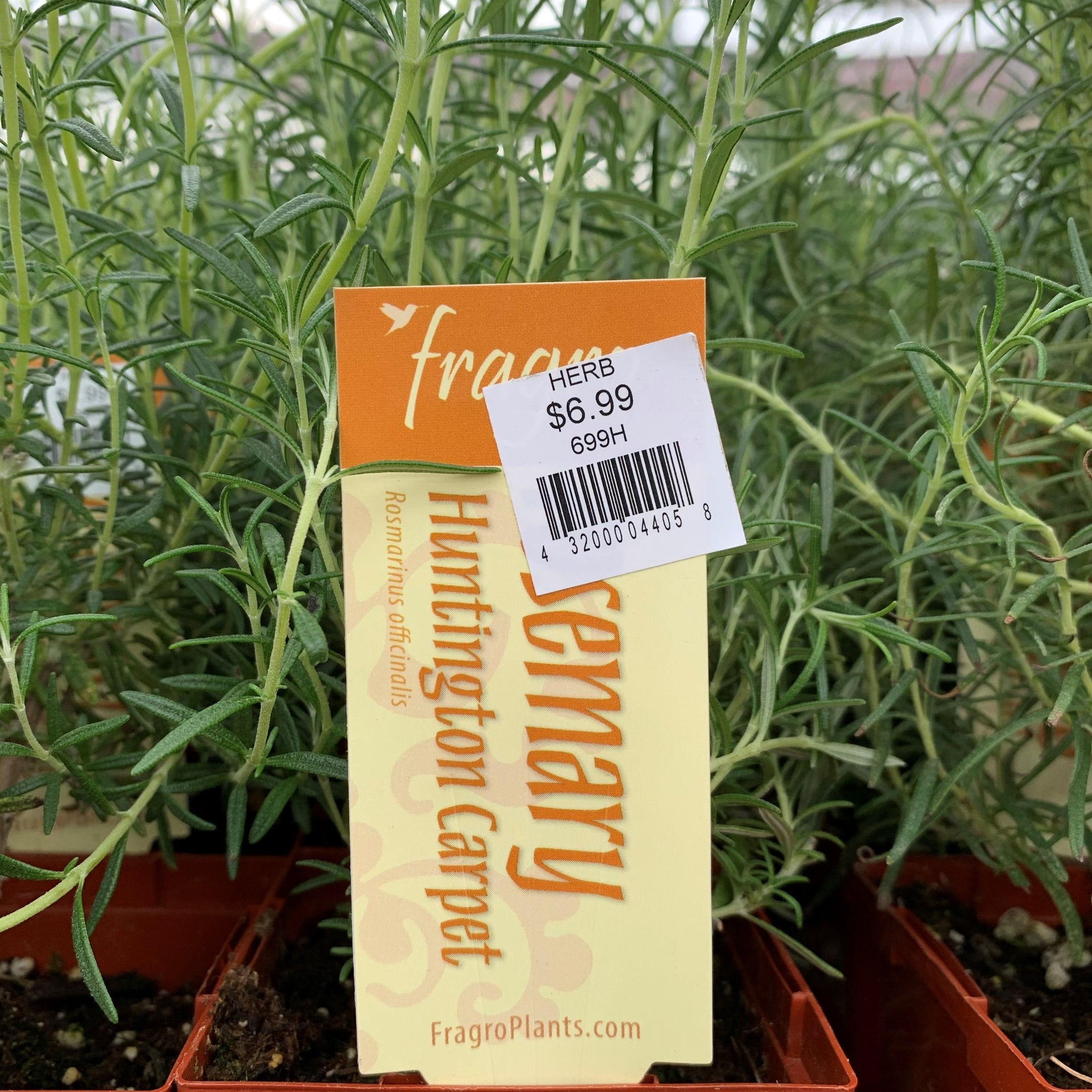 Rosemary 'Huntington Carpet' (regular)