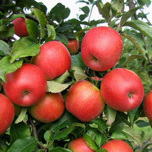Apple Honeycrisp B9 154102