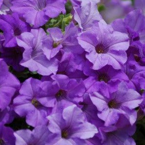 PW Surfinia Heavenly Blue Petunia