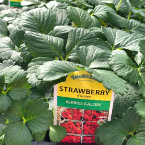 Strawberry 'Berries Galore'