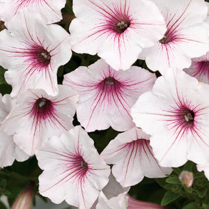 PW Supertunia Vista Silverberry