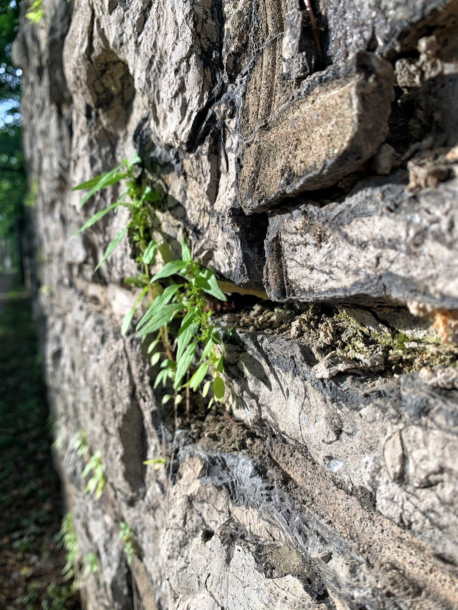 Plant life growing from the stone wall surrounding Sonnenberg Gardens, Canandaigua