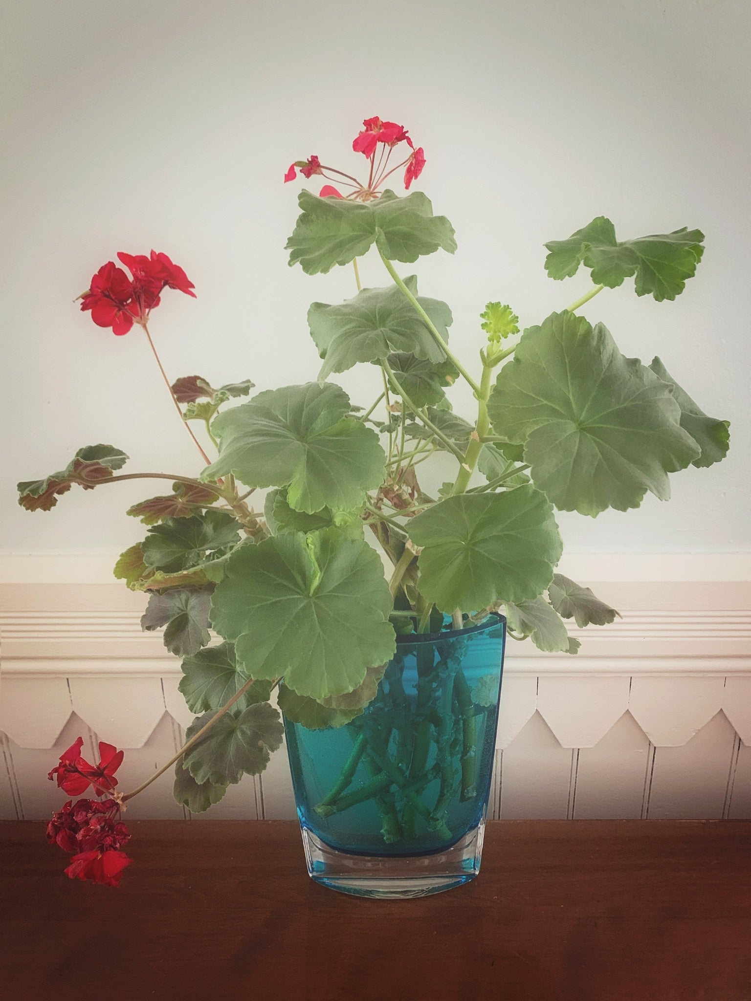 The cuttings from my old indoor geraniums.