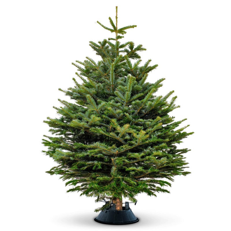 Christmas Tree 4' (Nordmann Fir) Available Nov 27th Onwards