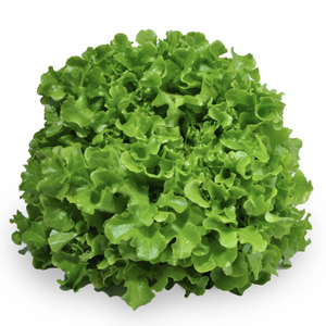 Lettuce - Oak Leaf White -  Lucas Farm