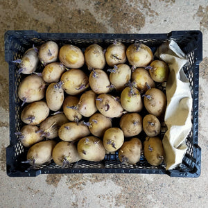 Jersey Royal Seed Potatoes - Tray of 30