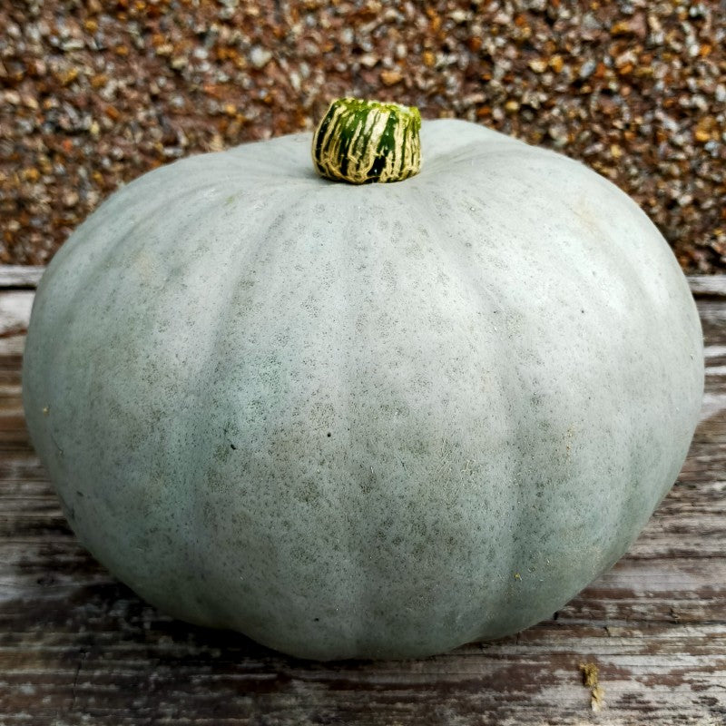 Pumpkin Blue