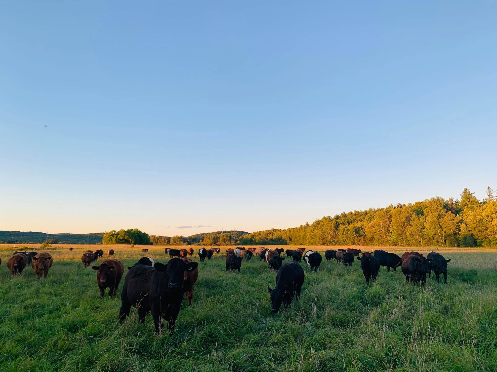 New Cows, Old Tricks: Adaptive Grazing Helps Farmers and Environment