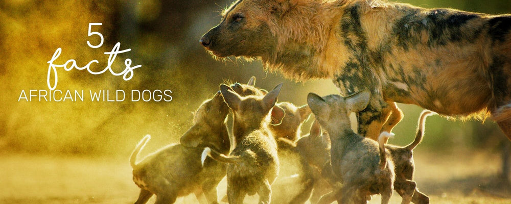 5 INCREDIBLE FACTS ABOUT AFRICAN WILD DOGS