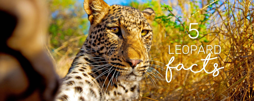 5 REMARKABLE FACTS ABOUT LEOPARD