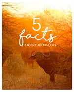 5 INTRIGUING BUFFALO FACTS