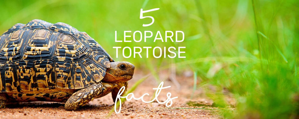 SLOW AND STEADY WINS THE RACE... HERE ARE 5 FACTS ABOUT LEOPARD TORTOISE!