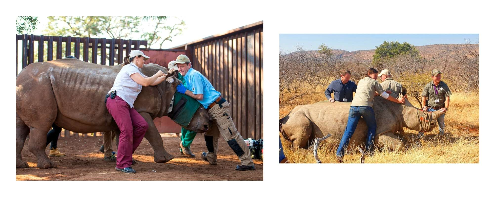 Saving The Survivors working on poached rhinos in South Africa - Wild In Africa