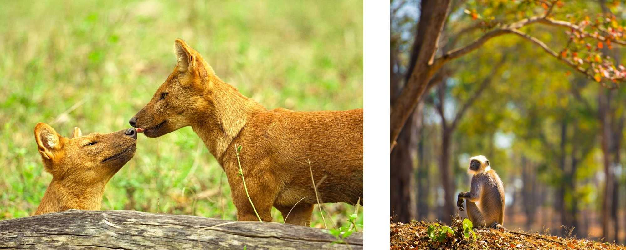 Dhole and Langur Monkey by Shannon Wild, India