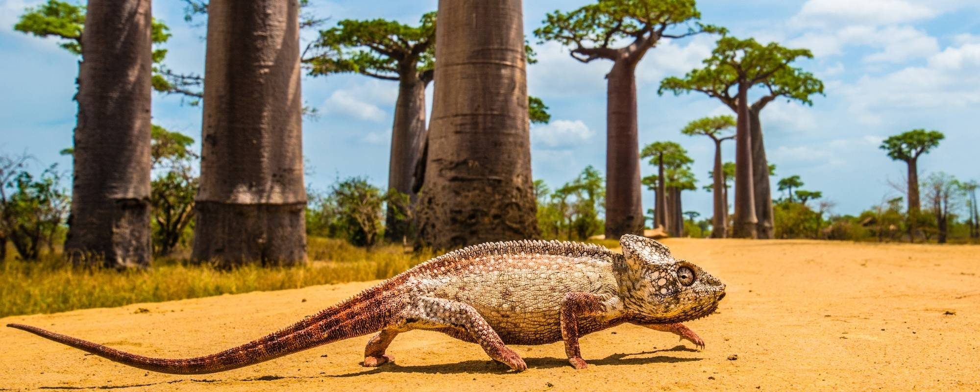 Giant Malagasy Chameleon crossing road in front of Baobab Alley by Shannon Wild