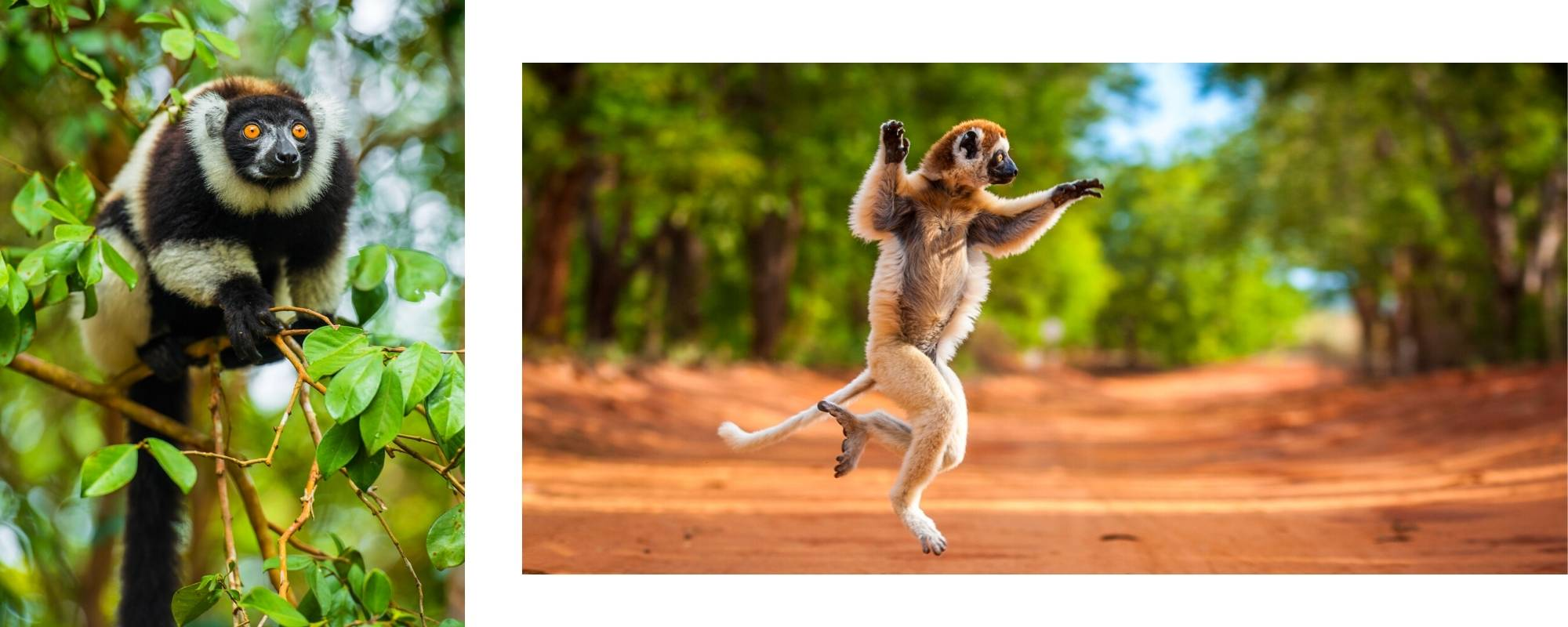 Verreaux's sifaka as it hops along the ground on two feet between trees