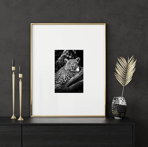 8x12 print of an African Leopard by National Geographic photographer Shannon Wild