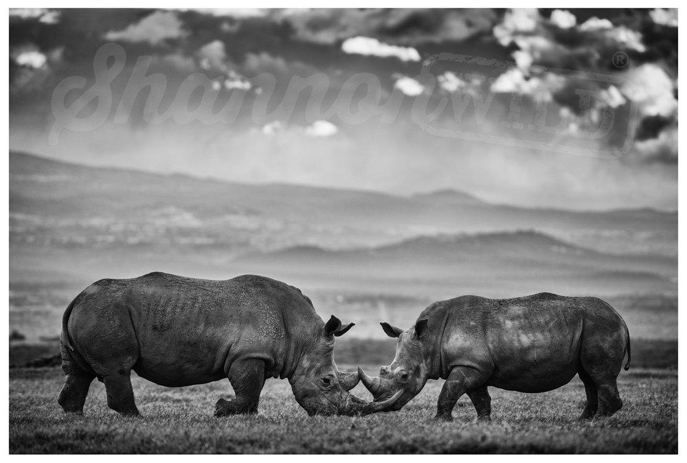 Load image into Gallery viewer, 'Battle' Rhino Photo Print - Wild In Africa