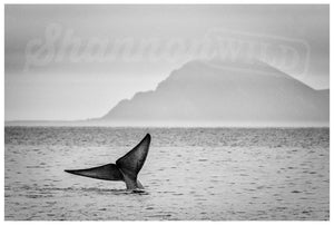 Load image into Gallery viewer, Blue Whale Print II - Wild In Africa