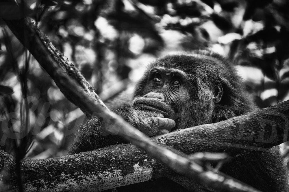 Contemplative Gorilla Photo Print - Wild In Africa