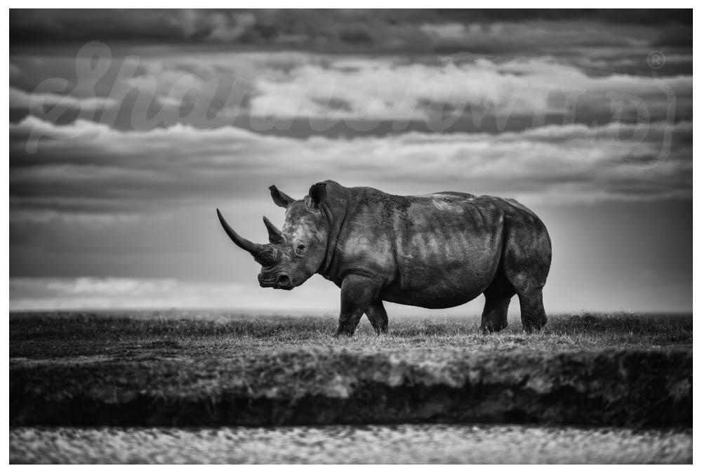 'Defiance' Rhino Photo Print - Wild In Africa