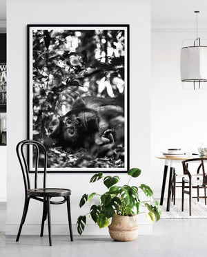 Load image into Gallery viewer, 'Resting Silverback' Silverback Gorilla Photo Print - Wild In Africa