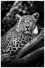 Leopard Limited Edition Print - Wild In Africa