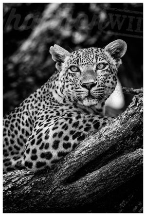 Load image into Gallery viewer, Leopard Limited Edition Print - Wild In Africa