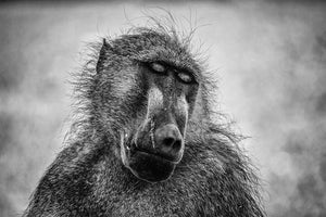 Load image into Gallery viewer, 'Pensive Baboon'