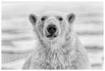 Polar Bear Portrait Print - Wild In Africa